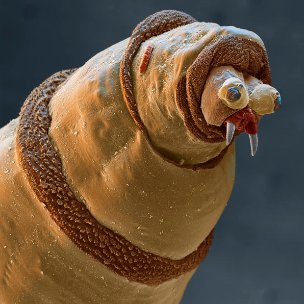 The larva of a bluebottle fly