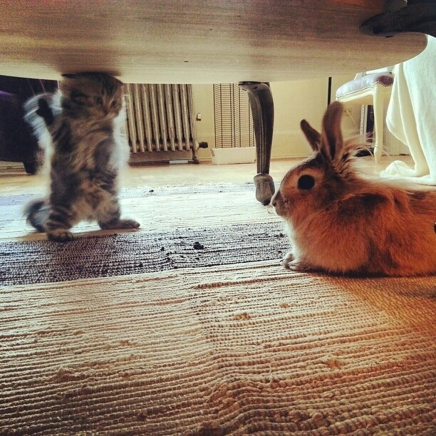 A kitten animatedly explaining her opinions to a disinterested rabbit.