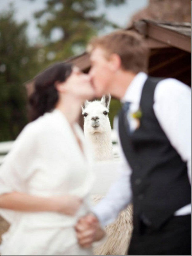 Do not, under any circumstances, get photobombed by an alpaca.