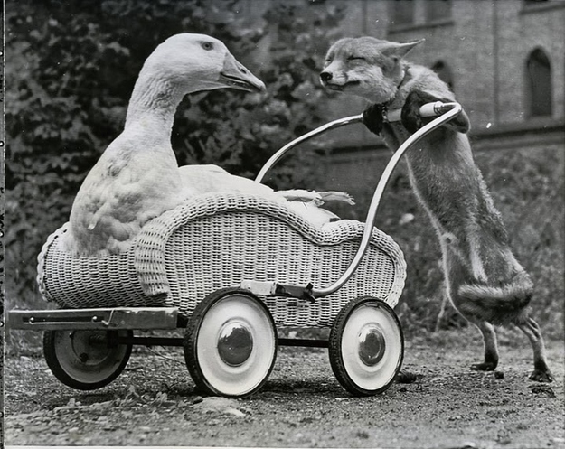 Fox pushing Goose