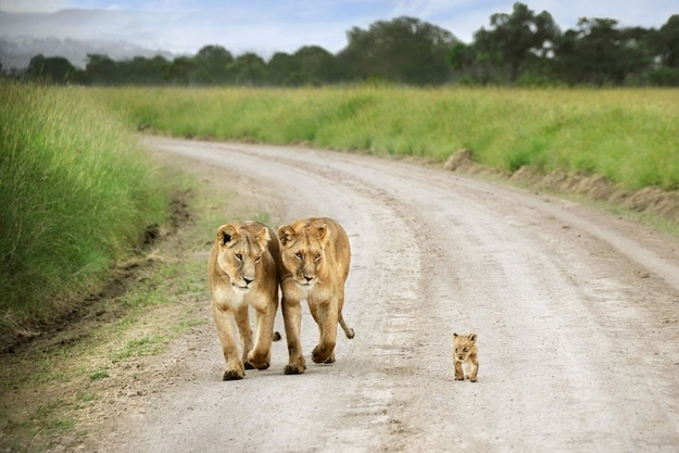 OK, pop quiz: Who is a better mom? A) These mother lions?