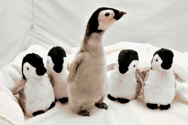 Now back to your regularly scheduled programming. Please direct your attention to Exhibit A: This baby penguin spending some time with four stuffed animal versions of herself.