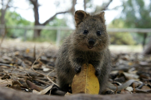 And get back to work! Look at this picture of a quokka who just wants you to love him, for God's sake.