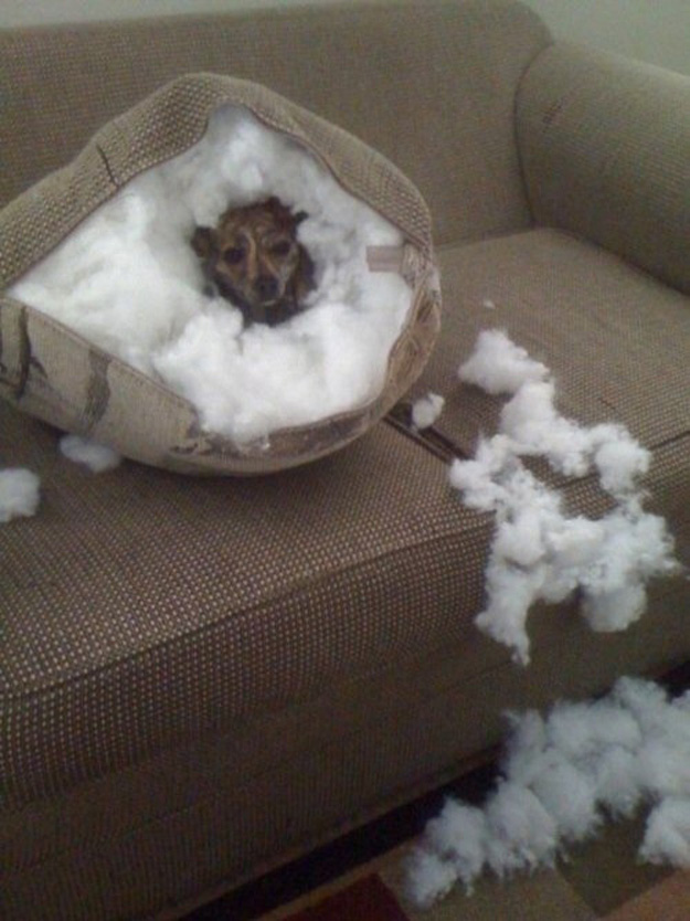 This dog that hollowed out a pillow home.