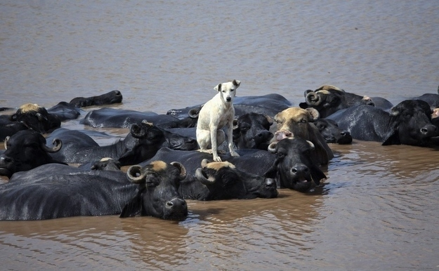 Water Buffalo carrying Dog