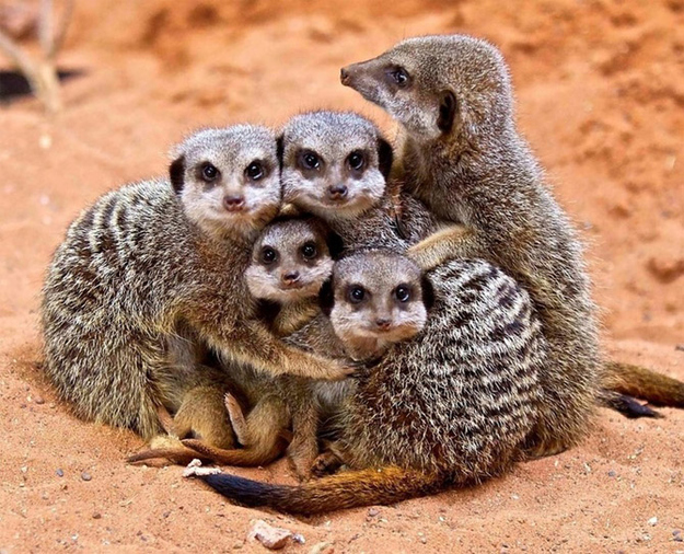 OK, first look at this family of meerkats. They love each other and they protect each other, as you can see from this photograph.