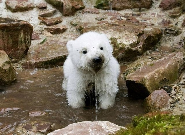 And this one of a baby polar bear who wholeheartedly agrees with the quokka, even though he's not entirely sure whether that is actually a real kind of animal.
