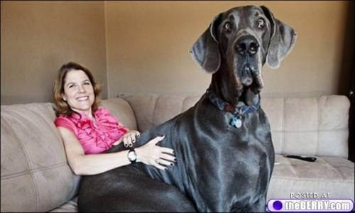 Zeus, the dog who likes to relax on the couch.