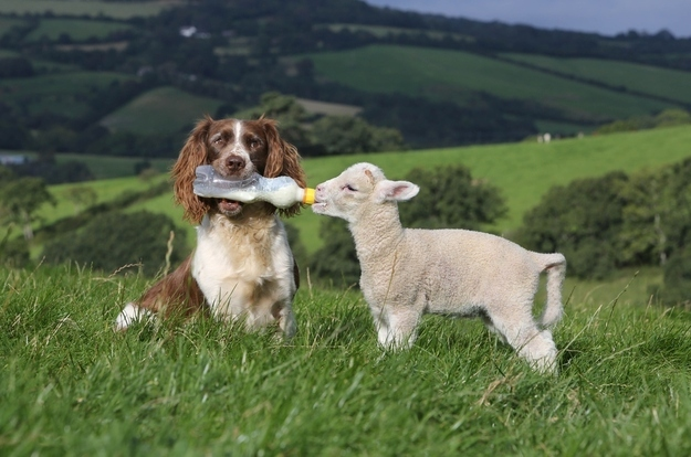 Dog feeding Baby Lamb