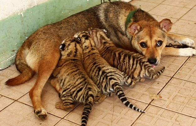Dog nursing Tiger Cubs