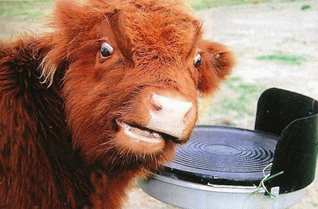 This cow.
