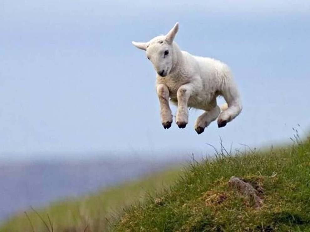 And the sheep who celebrated via frolicking.