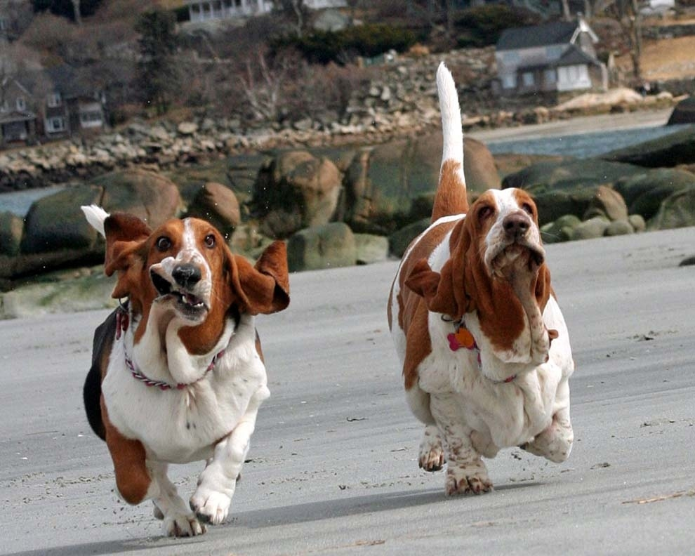 The basset hounds who won that race where two basset hounds RACE RIGHT INTO YOUR HEART.